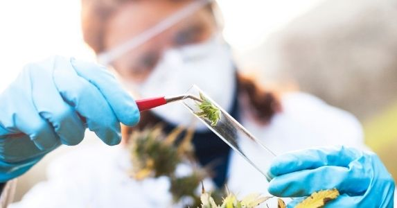 cannabis cultivator taking plant sample